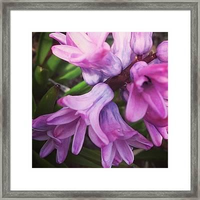 Hyacinth Flower Framed Print