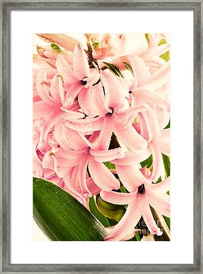 Hyacinth Flower Framed Print by Mythja  Photography