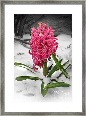 Hyacinth In The Snow Framed Print