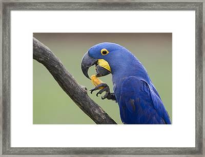 Hyacinth Macaw Feeding On Palm Nut Framed Print