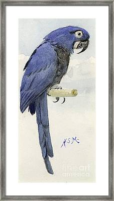 Hyacinth Macaw Framed Print by Henry Stacey Marks