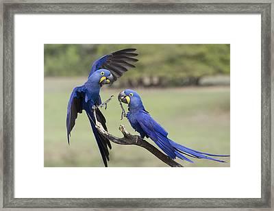 Hyacinth Macaw Pair Fighting Pantanal Framed Print