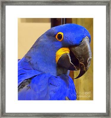 Hyacinth Macaw Portrait Framed Print