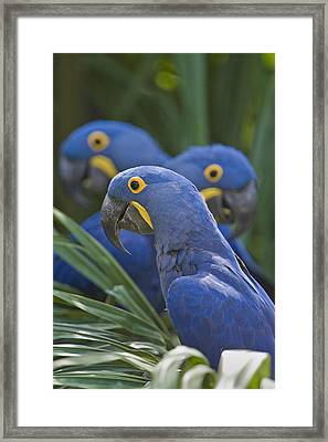 Hyacinth Macaws Anodorhynchus Framed Print by Panoramic Images