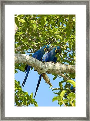 Hyacinth Macaws Brazil Framed Print by Gregory G Dimijian MD