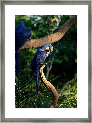 Hyacinth Macaws Gather And Eat Nuts Framed Print by Jan and Stoney Edwards