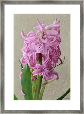 Hyacinth Pink Framed Print by Jeff Kolker