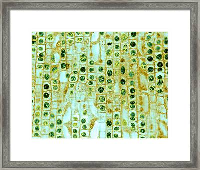Framed Print featuring the photograph Hyacinth Root Tip Cells by Omikron