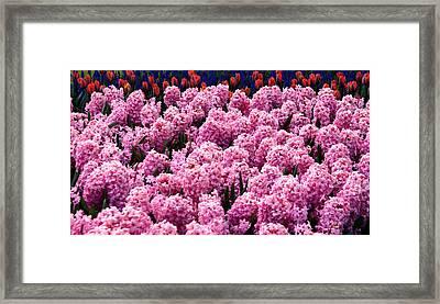 Hyacinth's In Amsterdam Framed Print