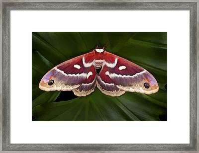 Hyalophora Moth Framed Print by Jim Zuckerman