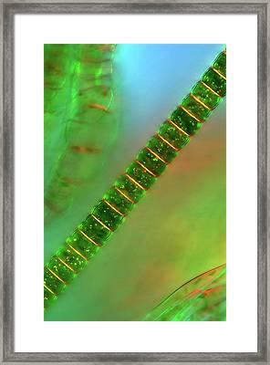 Hyalotheca Desmid Framed Print