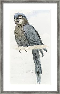 Hyancinth Macaw Framed Print by Henry Stacey Marks