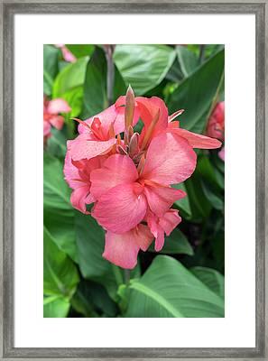 Hybrid Cana Lily, Usa Framed Print