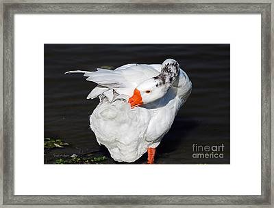 Hybrid Goose Grooming After A Swim Framed Print
