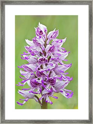 Hybrid Orchid (orchis Militaris X Simia) Framed Print