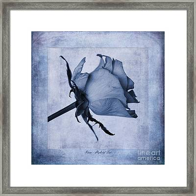 Hybrid Tea Rose Cyanotype Framed Print by John Edwards