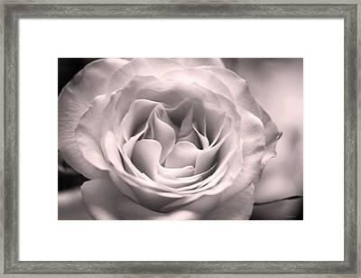 Hybrid Tea Rose In Dusty Mauve Framed Print