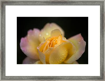 Hybrid Tea Rose In The Irish National Framed Print by Panoramic Images
