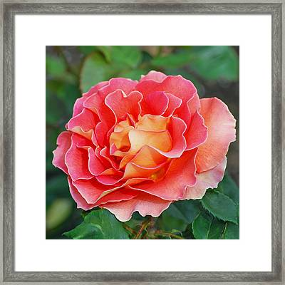 Hybrid Tea Rose  Framed Print by Lisa Phillips