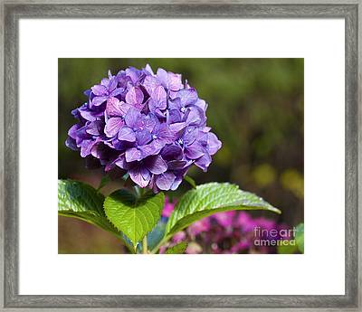 Framed Print featuring the photograph Hydrangea by Belinda Greb