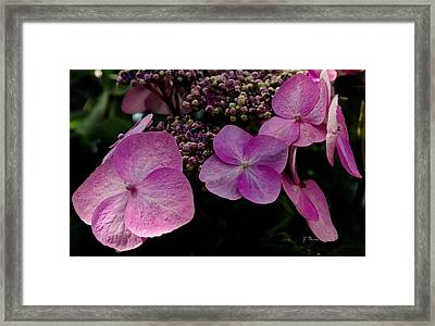 Framed Print featuring the photograph Hydrangea Flowers  by James C Thomas
