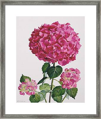 Hydrangea Framed Print by Christopher Ryland