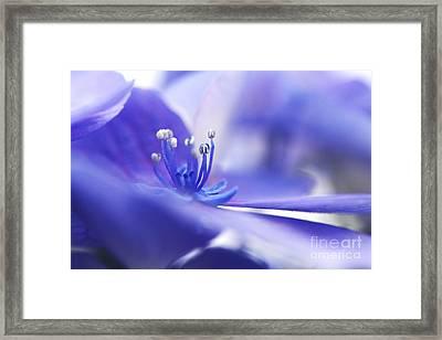 Hydrangea Closeup Framed Print by Sharon Talson