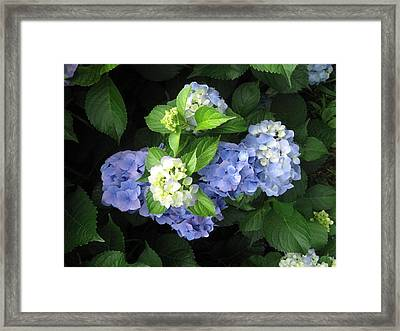 Framed Print featuring the photograph Hydrangea by Deb Martin-Webster