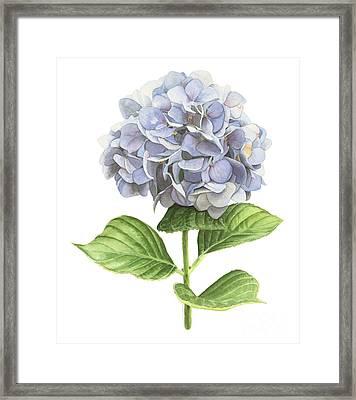 Hydrangea Framed Print by Elizabeth R Smith