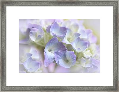 Hydrangea Floral Macro Framed Print by Jennie Marie Schell