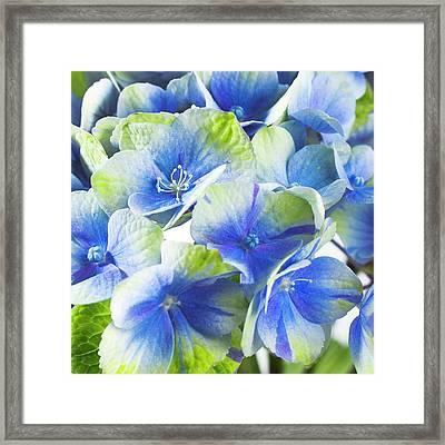 Hydrangea Flower And Soil Acidity Framed Print