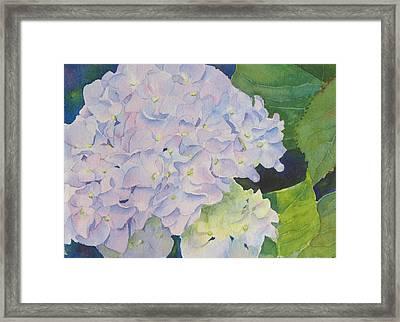 Hydrangea Framed Print by Judy Mercer