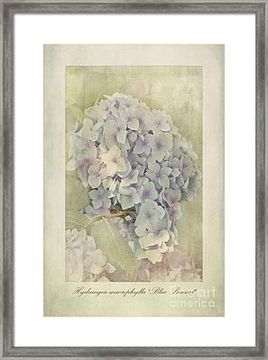 Hydrangea Macrophylla Blue Bonnet Framed Print by John Edwards