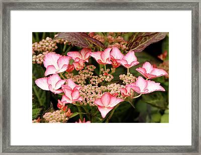Hydrangea Macrophylla 'love You Kiss' Framed Print