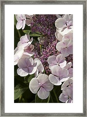 Hydrangea Macrophylla 'teller Blanc' Framed Print by Science Photo Library