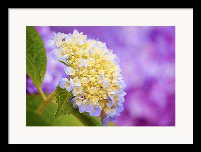 Lacecaps Framed Prints