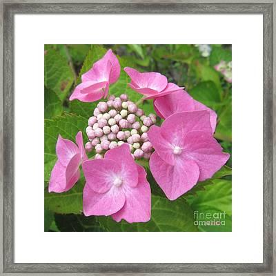 Hydrangea Posy Framed Print by John Clark