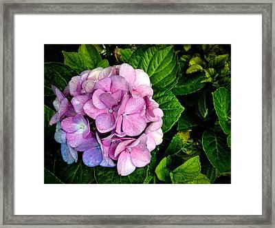 Hydrangea Singapore Flower Framed Print by Donald Chen