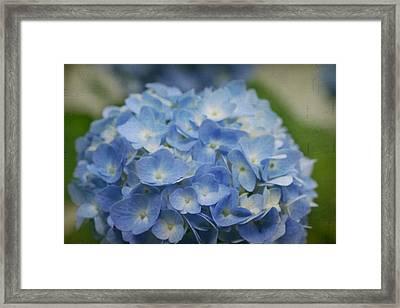Hydrangea Solitude Framed Print
