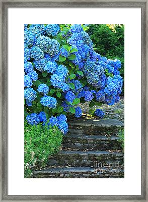Hydrangea Steps 2 Framed Print by Jeanette French