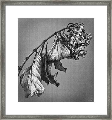 Hydrangea Framed Print by Theresa Tahara
