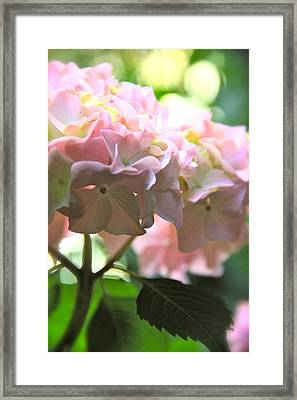 Hydrangea Framed Print by Tracy Male