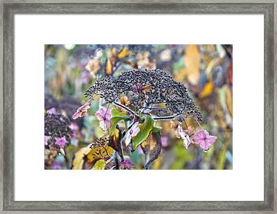 Hydrangea Villosa Framed Print