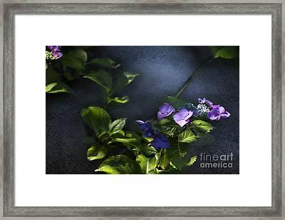 Hydrangea Violet-blue Framed Print