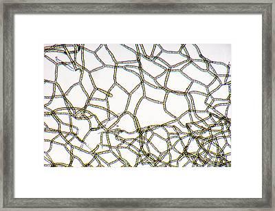 Hydrodictyon Sp. Algae, Lm Framed Print by Biology Pics