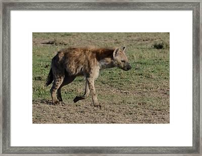 Hyena On The Move Framed Print