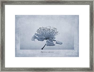 Hypericum Calycinum Cyanotype Framed Print