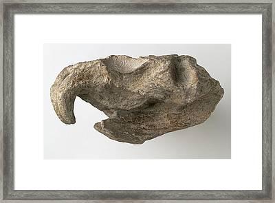 Hyperodapedon Skull Framed Print
