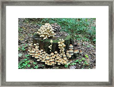 Hypholoma Mushrooms Framed Print by Bildagentur-online/mcphoto-schulz
