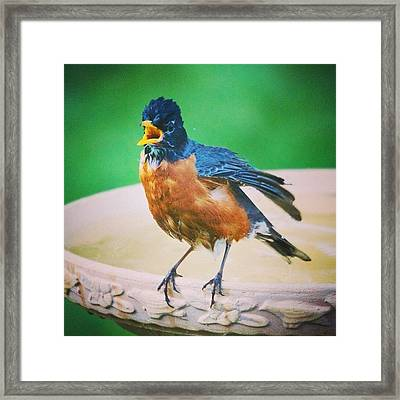 Bathing Robin Framed Print by Heidi Hermes